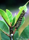 monarch_caterpillar